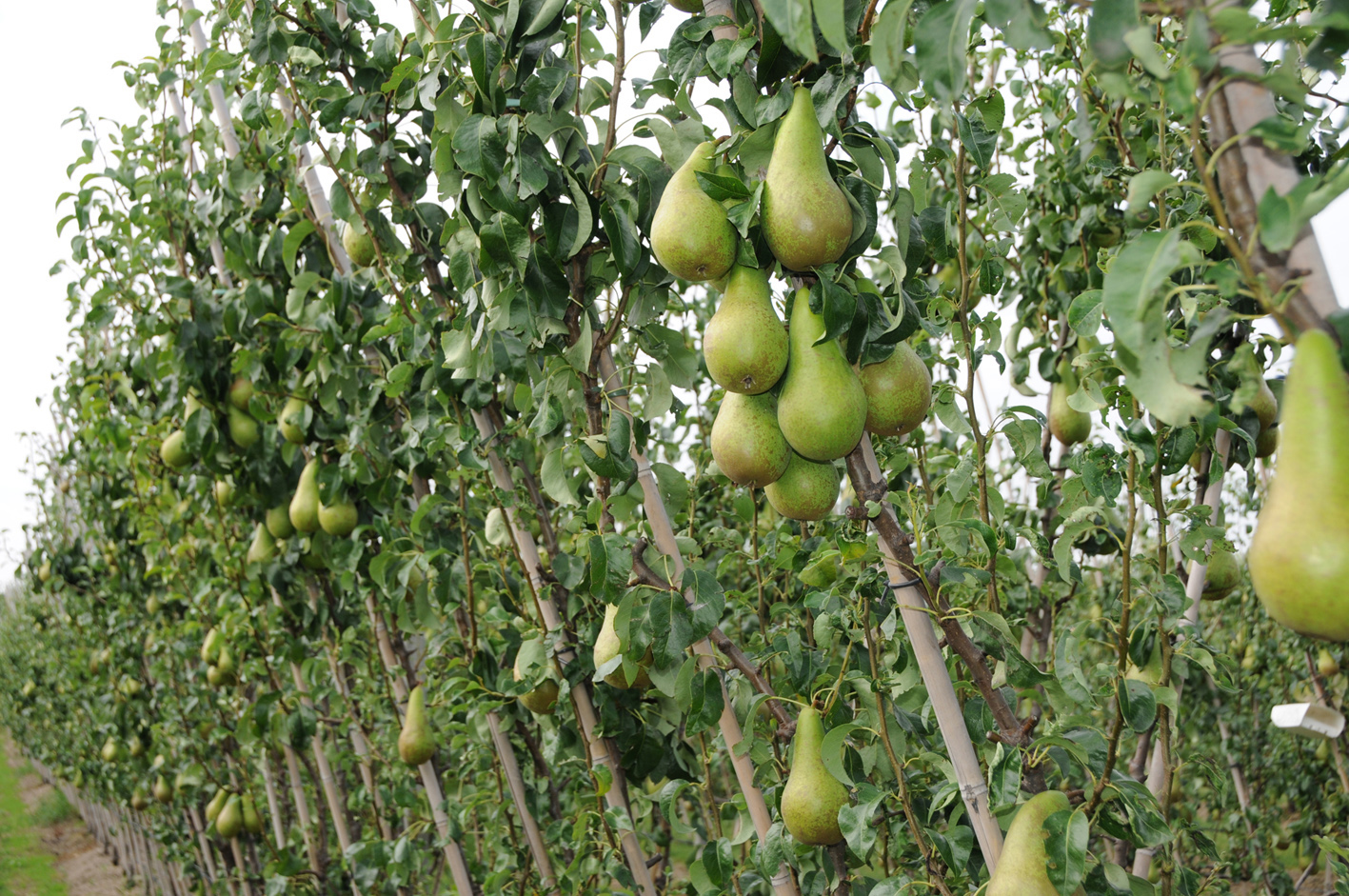 Concept Conference Pear Orchard Delivers Strong Harvest